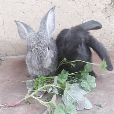Животные - Таш-Мойнок: Продаю крольчат