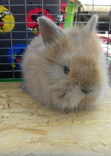 Оптом Кролики декоративные карликовые для дома. Кролик декоративный