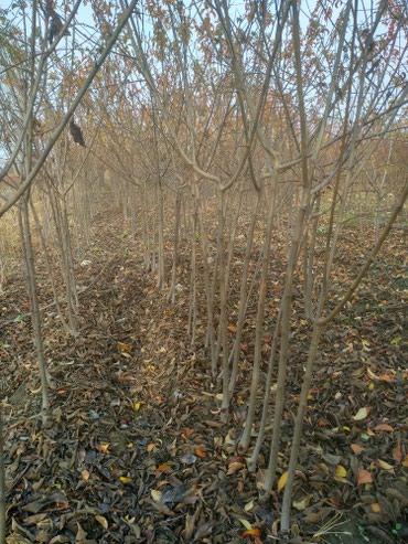 Момолуу дарактар в Кызыл-Кия
