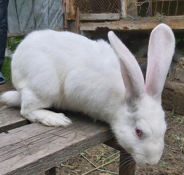Xaçmazda: Ərkey Velikan balaları var. 2 dovşan 4 aylıq, 4 dovşan 3 aylıqdır. 1