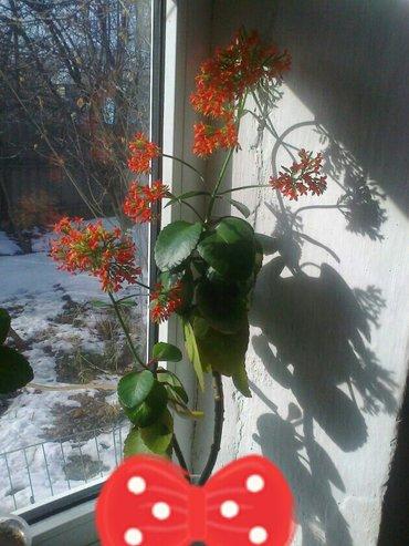 Каланхоэ. очень красиво и долго цветет! неприхотливое! есть детка. в Бишкек