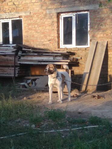 москвич 412 цена бу в Ак-Джол: Продаю алабай 11месяц цена даговорная