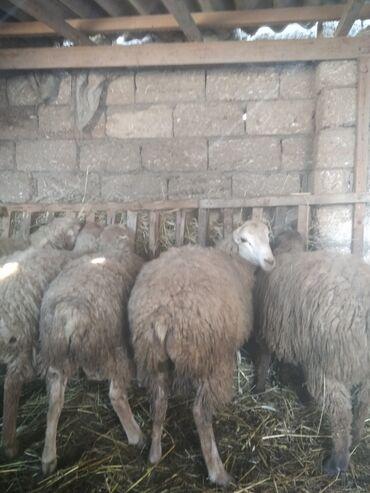 Yonca presinin qiymeti - Azərbaycan: Tam saglam heyvanlardir 5 erkek 4 disi arpa yonca ile baxiram