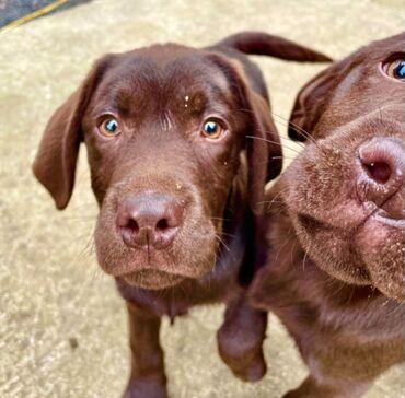 Πώληση κουτάβια Labrador RetrieverLabrador Retriever κουτάβια αρσενικά