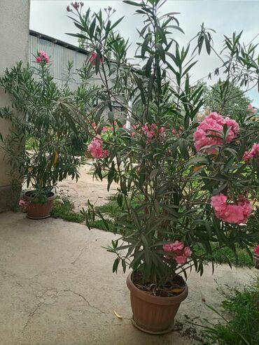прогест 100 в Ак-Джол: Продаю цветок Олеандр около 2 метров прошу 100$
