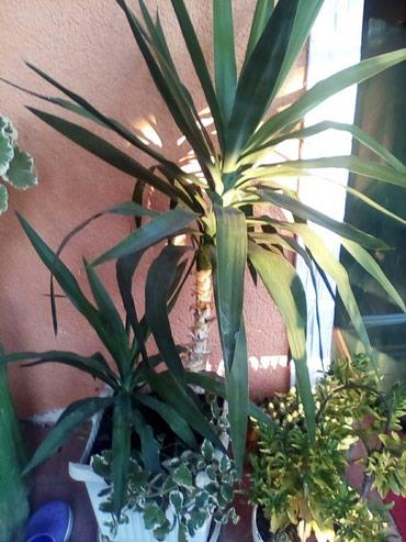 Sobna biljka,drvo zivota ,staro 3god. - Sopot