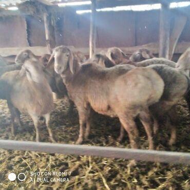 Продаются годовалые кочкоры на племя порода Арашан. Цена 37000 сом