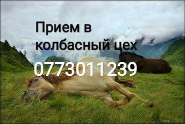 животный-с в Кыргызстан: ПРИЕМ коров быков и лошадей и телок