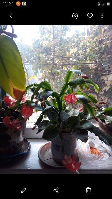 Комнатные растения - Сокулук: Декабрист и фиалка в одном горшке