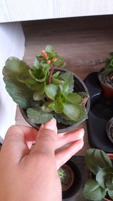 Другие комнатные растения - Кыргызстан: Каланхоэ 120с