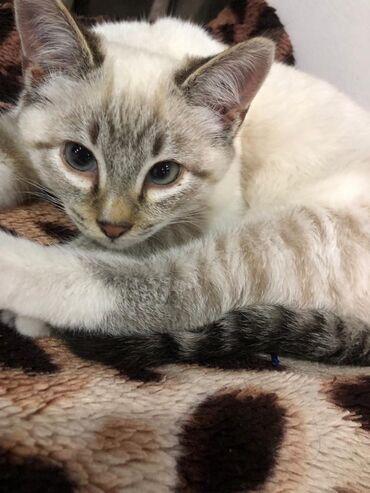 Животные - Бишкек: В связи с переездом в другой город отдам годовалую кошечку Ширу в