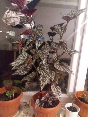Комнатные растения - Кыргызстан: Комнатные растения