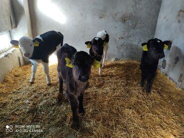 Теленки Голштинской породы 3 бычок 1 теленок полтара и двух недель