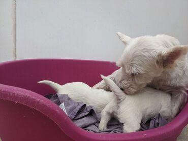Πωλούνται κουτάβια West Highland TerrierWhatsApp μου +33 Τα κουτάβια