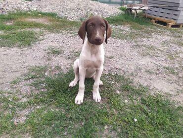 Животные - Студенческое: Продается щенок курцхаара - девочка, родилась 9 апреля 2021 года. Все