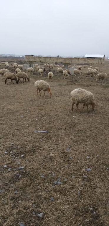 Животные - Шеки: 107ana qoyundu 3 dene erkeydi 26 quzuda var .hamisi birinci qarindi