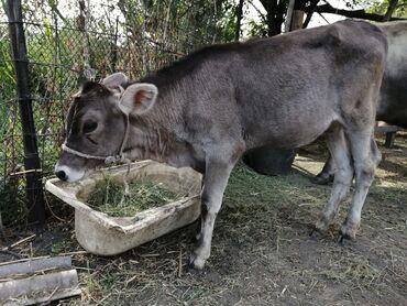 товары из кореи бишкек в Кыргызстан: Продаю | Корова (самка), Тёлка | Швицкая | Для разведения, Для молока | Племенные, Искусственник