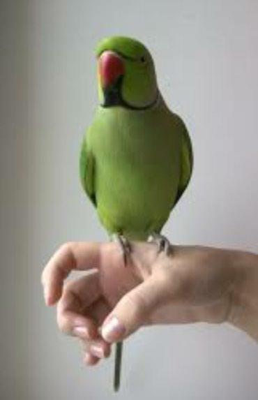 Ожиреловые попугаи хорошо приручаются и разговаривают в Бишкек