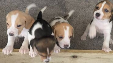 3 Lovely Beagle PuppiesPups in litter that are available male and