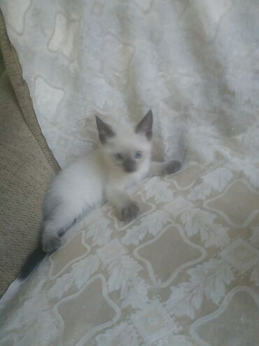 Животные - Чон-Далы: Коты