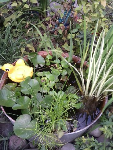 Семена и уличные растения - Кара-Балта: Г.Бишкек.Цветы Злаки разные садовые для оформления солнечных мест.0т