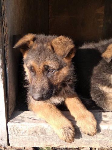 Щенки немецкой овчарки,2,5 месяца с в Бишкек