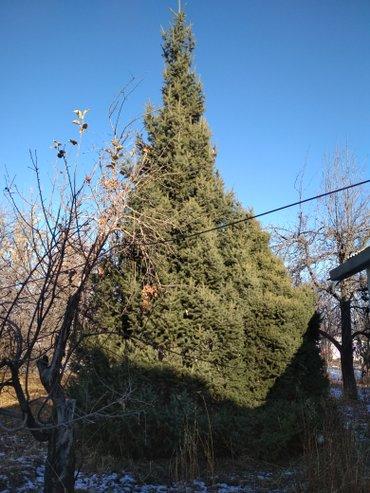 Продам зеленую ёлку. возраст - 25 лет, в Бишкек