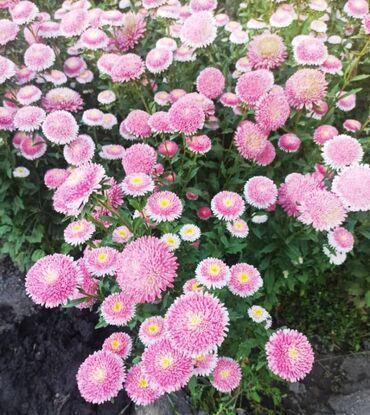 Астры по 150 с букеты в наличии хризантемы мега большие по 500 сом