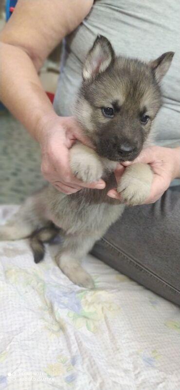 Собаки - Кыргызстан: Продаю щенков. Отец овчарка, мать хаски. Щенки крупные им 1 месяц