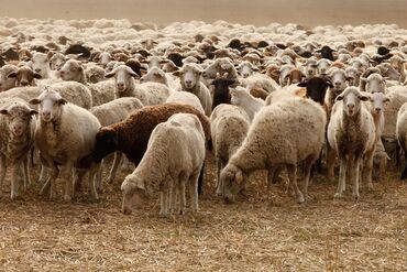 Продам овцы романовские дорпер все чисто кровные с документами есть