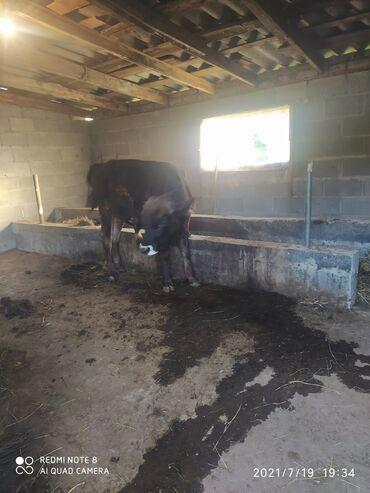 Животные - Арашан: Продаю бык 11месяц