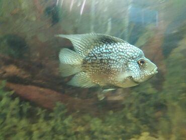 guppi baliqlari - Azərbaycan: Bala brilyant(Texas chiclid) balıqları satılır evə catdırılmır sağlam