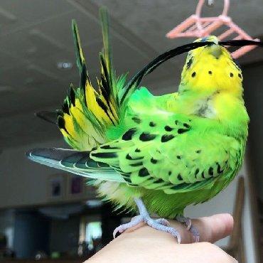 волнистые попугаи размножение в Кыргызстан: Шикарные волнистые попугаи главное из домашнего разведения!!!