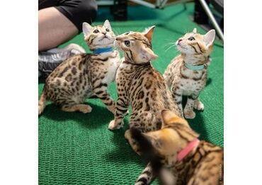 Γατάκια της Βεγγάλης. Είναι πολύ φιλικά, παιχνιδιάρικα και κοινωνικοπο