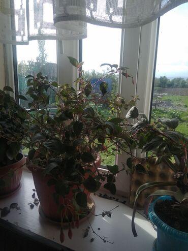 Комнатные растения - Кыргызстан: Уй гулдору