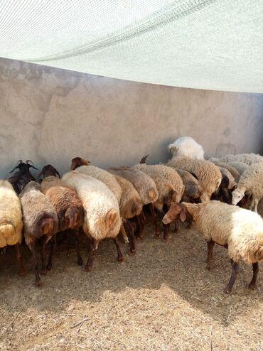 qala konstruktorlari - Azərbaycan: Bogaz Qala qoyunlari 250 bawdiyan qiymetlerle