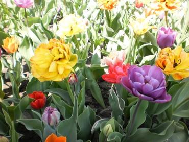 Семена и уличные растения - Сокулук: Продаются луковицы сортовых тюльпанов
