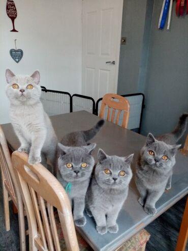 Registrirana prekrasna kratkodlaka mačića Gccf Lijepa naša Mona Snow d