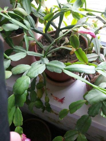 Декабрист.зигакактус горшок 250сом цветут все как положено в Бишкек