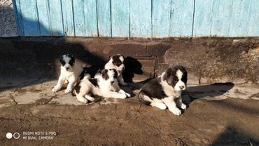 Продаю щенков породы САО,возраст 1 месяц. Возможен торг в Кара-Балта