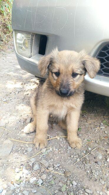 Животные - Таш-Мойнок: Очаровательные щенки ищут себе любящих хозяев, возраст 2мес., кушают