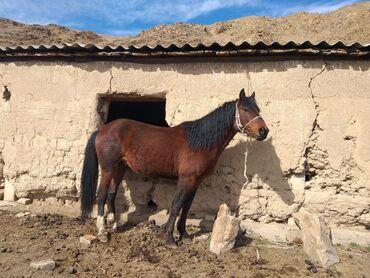 Продаю | Конь (самец) | Кара Жорго | Для разведения