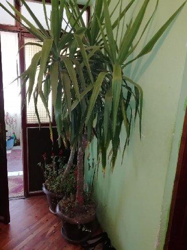 Kućne biljke | Srbija: Drvo života ili JUKABiljka je brižljivo negovavana i cuvana punih 16