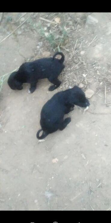 Животные - Кызыл-Суу: Таза канду тайган кучуктор сатылат 1 айлык. июндун 23до торолгон. Атас