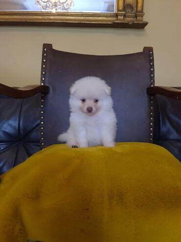 Πώληση κουτάβια PomeranianWhatsApp μου +33 Κουτάβια Pomeranian