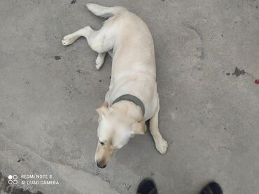 Животные - Балыкчы: Лобрадор сучка срочно 2.5 года для дома и охоты. Продаю свези с
