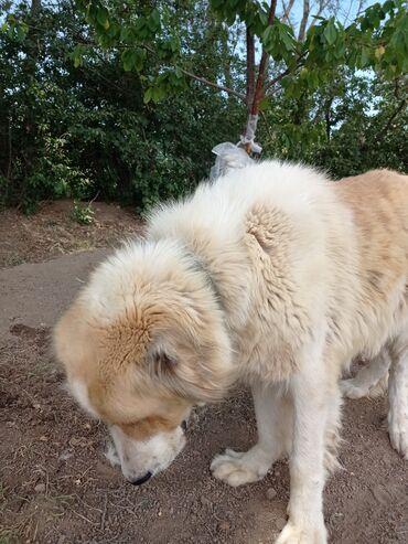 Животные - Кызыл-Суу: Продается