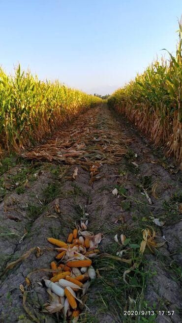 хендай accent цена в Ак-Джол: Продам кукурузу 2 га цена договорная сорт пионер
