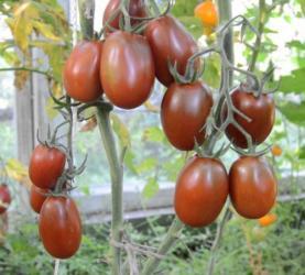 Na prodaju 10 semenki Černi Mavr ili Crni Mavar je stara sorta - Uzice