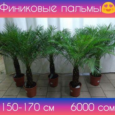 Финиковые пальмы!Финиковая пальма!•Доставка бесплатно!•Растения для